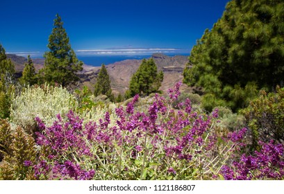 Gran Canaria, view from Las Cumbres, the highest areas of the island, large flowering plant of Canary sage on the foreground, Teide on Tenerife in far distance