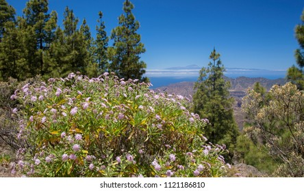Gran Canaria, view from Las Cumbres, the highest areas of the island, large flowering plant of mountain scabious on the foreground, Teide on Tenerife in far distance