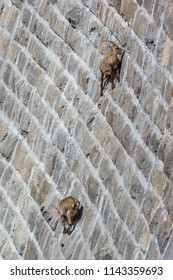 Gran Paradiso National Park, Italy: Amazing alpine ibexes (capra ibex) climbing a steep dam wall to lick minerals off the stones.