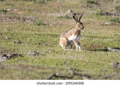 Granada hare in its typical habitat