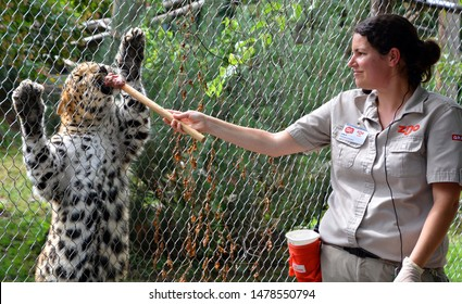 GRANBY QUEBEC CANADA 98 13 2019: Zookeeper feed a young amur leopard,