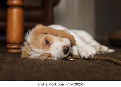 Grand Basset Griffon Vendeen puppy