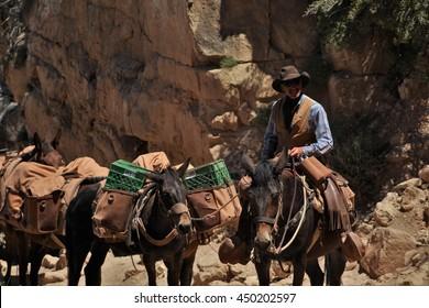 GRAND CANYON, ARIZONA/USA   June 1, 2016: Man leading mule team out of Grand Canyon along South Kaibab Trail.