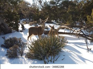 Grand Canyon mule deer