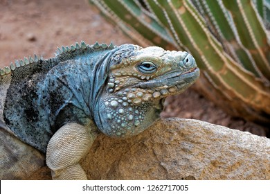 Grand Cayman Blue Iguana. Cyclura lewisi is an endangered species and is native to the Cayman islands