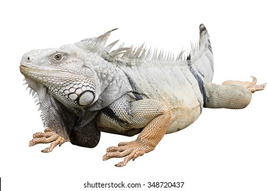 Grand Cayman Blue Iguana, an endangered species of lizard isolated on white with clipping path