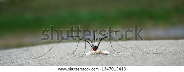 grand daddy long leg on concrete eats scrape of food