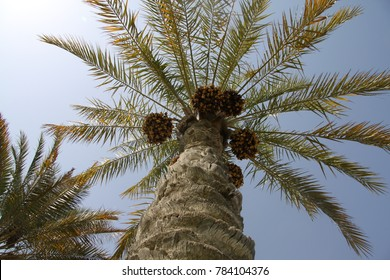 a grand date palm tree