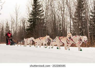 GRAND MARAIS MN - JANUARY 26: Marla Brodsky's team races on the trail during the Mid-distance portion of the John Beargrease Sled Dog Race. Brodsky finished 22nd on January 26 2015 in Grand Marais MN