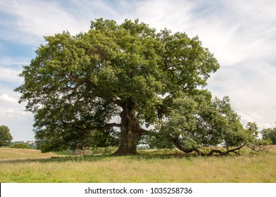 Grand old Oak tree in the summertime.