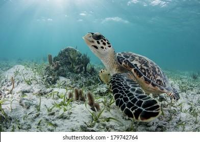 Grand Sea Turtle