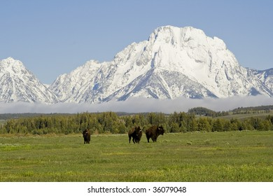 Grand Tetons with buffalo hanging out.