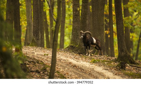 Grand trophy male of mouflon looking around in the deciduous dark oak forest next to the road. Wildlife photography.