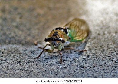 The Grand Western Cicada or sometimes called the Bush Cicada is what you may be hearing. The larva of this noisy fella feeds on the sap in the roots of trees until it becomes an adult then it comes ou