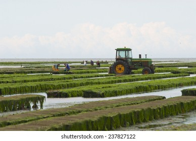 GRANDCAMP-MAISY, FRANCE - JULY 03, 2008: Unidentified farmers work at oyster farm at low tide in Grandcamp-Maisy, France.