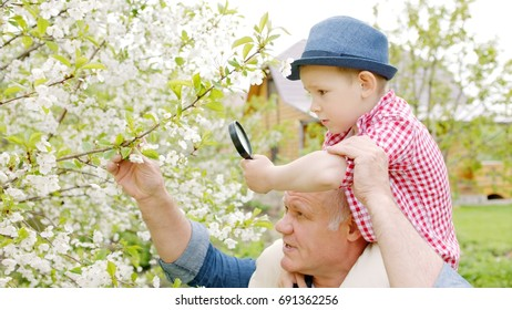 Granddad and boy are looking through a magnifying glass at cherry blossoms in the spring garden in the village. Grandson is sitting on grandpa's neck