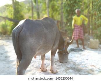 a grandfather is feeding buffalo. Buffalo is one of the Sumba livestock animals, on the island of Sumba, October 27, 2017