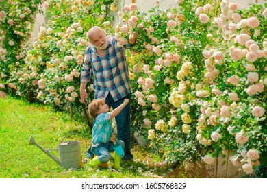 Grandfather and grandchild enjoying in the garden with roses flowers. Grandfather working in garden near flowers garden