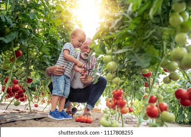 Grandfather and his grandson in a greenhouse, they are picking tomato together.