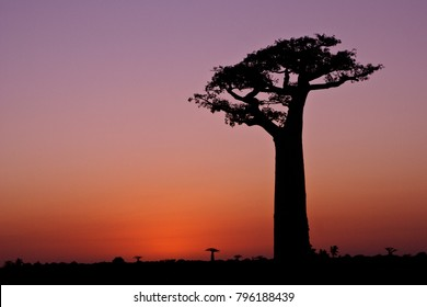Grandidier's baobab trees at sunset, Morondava, Madagascar