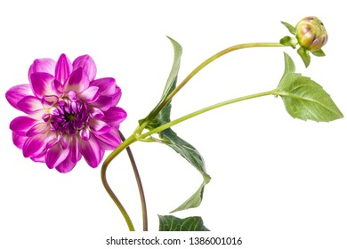 Grandiose dahlia flower isolated on a white background