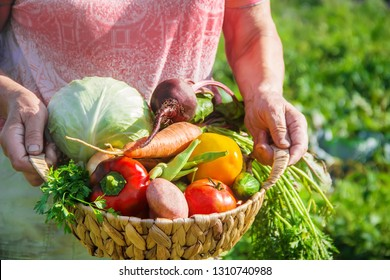 grandmother in the garden gather the harvest. Selective focus. nature.