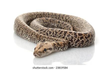Granit Burmese Python (Python molurus bivittatus) isolated on white background.