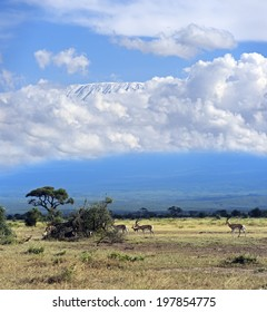 Grant's gazelle in the African savannah on background of Mount Kilimanjaro