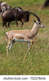 Grant's gazelle male buck