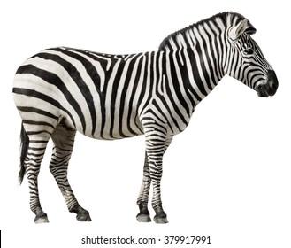 Grants Zebra (Equus burchellii boehmi) isolated on a white background