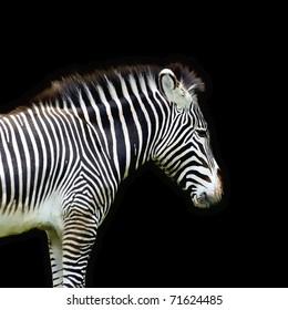 Grants Zebra on a Black Background