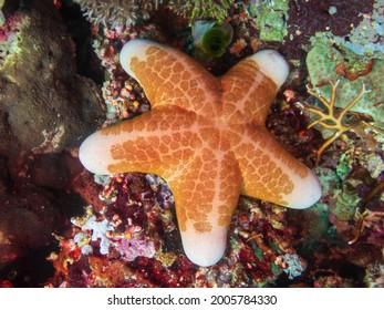 Granular sea star (Choriaster granulatus), also known as the granulated sea star, big-plated sea star, and doughboy starfish at Napantao dive site in Sogod Bay, Southern Leyte, Philippines.