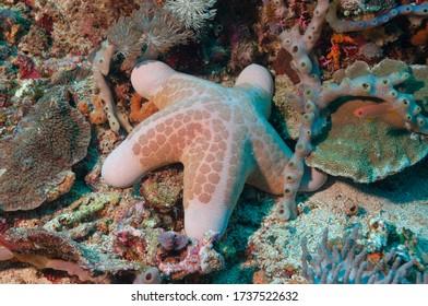 Granulated sea star, big-plated sea star or doughboy starfish (Choriaster granulatus) Bali, Indonesia