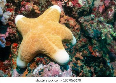 Granulated sea star, big-plated sea star or doughboy starfish (Choriaster granulatus) Mindoro, Philippines