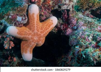 Granulated sea star, big-plated sea star or doughboy starfish (Choriaster granulatus) Moalboal, Philippines