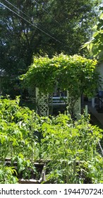 Grape arbor with grapes growing