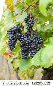 Blaufränkisch grape in autumn.