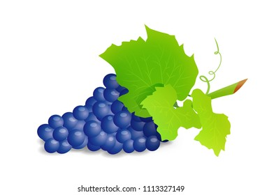 Grape branch with blue grapes. Realistic illustartion