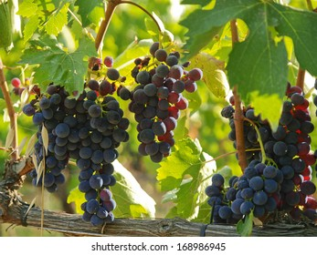 Grape Brunello di Montalcino