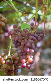 Grape clusters in hanging vine, special table grape without inner seed