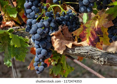 Grape crops dedicated to the elaboration of the famous Rioja wine.