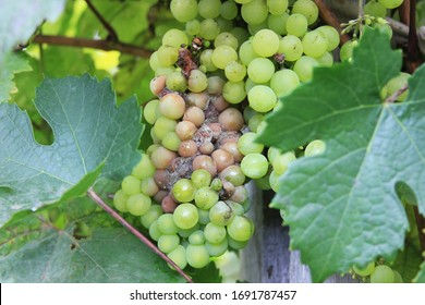 Grape disease. White grapes rot on the vine. Crop infected gray mold. Botrytis cinerea. Decay bunch hanging on the bush