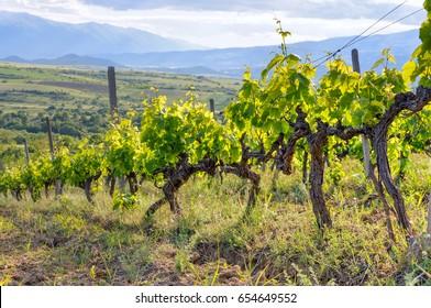 Grape field in Melnik wine region, Bulgaria. Vineyard in late springtime. Grape vine with flower buds