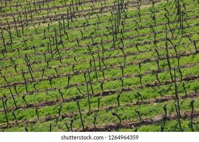 Grape fields in Rudesheim, Germany