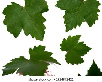 Grape Fresh Green Natural Leaves White Background.