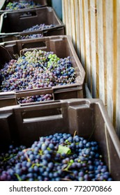 grape gathering in boxes