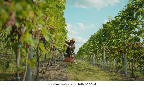 Grape grower in strawhat working on vine field collecting ripe fresh grapes into basket during september season. Concept of winemaking.
