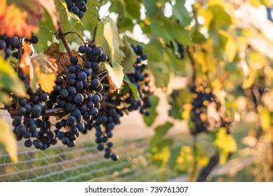 Grape growing.