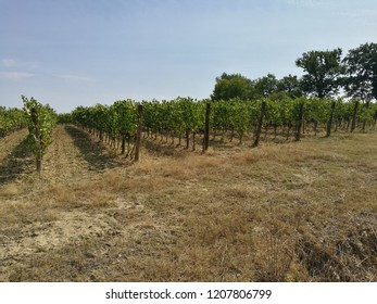 grape growing for wine Brunello di Montalcino