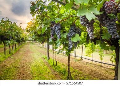 grape harvest - Shutterstock ID 571564507